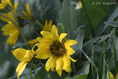 Arrowloeaf balsamroot (V.C. Wald) Tags: grandtetonnationalpark wildflowers arrowleafbalsamroot balsamorhizasagittata tamronsp150600f563divcusdg2