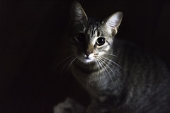 Hilary (vic.pilo) Tags: cat kitten cute animal portrait looking canon 50mm eosrebelt6