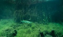 ASM Plongée, Brochet, Gravière du Fort - Site 4534.jpg (Hugues Brun) Tags: asmplongée site plongée gravièredufort animaux poissons brochet themes