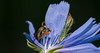 Flowers and Flies and ? (Bonnie Ott) Tags: chicory flowerfly mite miteonflowerfly