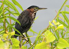 Green Heron (daveanderson14) Tags: wildlife nature birds heron green nikon d5300