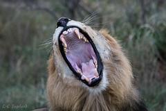 A big lion yawning, Thanda Safari (larschristerjageland) Tags: afrika kwazulunatal natur sydafrika thandasafari thandasafariprivategamereserve djur katt lejon mkuze za