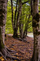 Root (whyweaway) Tags: bolu nature green tree forest root yedigöller nikon hiking autumn