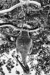 will the real pelican please stand up? (kceuppens) Tags: kroeskoppelikaan pelican bird water vogel zoo dierentuin blackandwhite black white zwart wit bw zw zwartwit nikond7000 nikon d7000 nikkor80400afs nikkor 80400 reflection weerspiegeling spiegeling reflectie tak branch