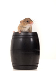 A barrel of mice! (susie2778) Tags: olympus omdem1mkii olympusm12100mmf40 captive captivelight studio flash harvestmouse bournemouth barrel