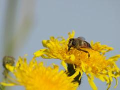 Bad im Nektar (reuas ogni) Tags: insekt insect gelb yellow olympus zuiko isoz nektar macro makro blüte blossom