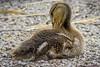 Baby Duck (lycheng99) Tags: duck baby babyduck animal wildlife garden sanctuary birdsanctuary birdphotography birds thegeorgecreifelmigratorybirdsanctuary vancouver britishcolumbia delta