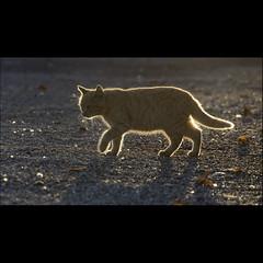 """""""Rouquinette !!!"""" (Alcosinus  ON/OFF ) Tags: alcosinus nikond90 carré square bokeh couleurs colors chat cat redheadcat"""
