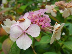 Hydrangea macrophylla (Iggy Y) Tags: hydrangeamacrophylla hydrangea macrophylla spring blossom flower pink color flowers green leaves velelisnahortenzija velelisna hortenzija bigleafhydrangea bigleaf hortensia nature garden park plant day light