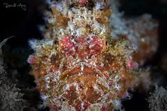 U G L Y (Randi Ang) Tags: frogfish antennariidae padang bai bali indonesia underwater scuba diving dive photography macro randi ang canon eos 6d 100mm randiang fish