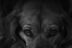 Wisdom (aaronchakraborty) Tags: monochrome dog pet cute adorable beagle blackandwhite eyes face brown fur wrinkle line wrinkles fat chubby ears flop