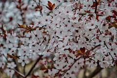 White_02 (JC Arranz) Tags: color nature flower floral bright season españa petal flora barcelona flores naturaleza blanco vic no person nikon d3200 almendro
