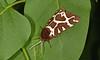Garden TigerMoth - Arctia caja (debsiep1) Tags: garden tiger arctia caja moth suffolk nikon macro