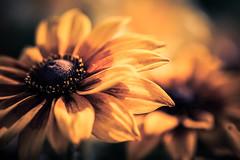 In the Flower of My Youth (gregmolyneux) Tags: blackeyedsusan bokeh flora macro rudbeckia stafford newjersey unitedstates usa