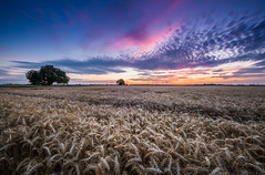 Sunset in the field. (svenjasphotography) Tags: sunset field wonderful evening nature wheat landscape clouds summer crops wide angle trees dawn sunrise sun colors idyllic image desktop high quality professional photography beautiful amazing stunning horizon no person colored place lights detail aura atmosphere warm day travel walk path street agriculture photo foto feld sonnenuntergang sonnenaufgang abend stimmung dämmerung licht lightroom