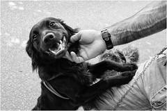 4 cani per strada (andaradagio) Tags: bianconero andaradagio miglioramicodelluomo cane dog bw nadiadagaro canon 24mmf28canon
