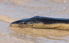 Yellow-bellied sea snake (Pelamis platurus)-4680 (rawshorty) Tags: rawshorty australia nsw portmacquarie