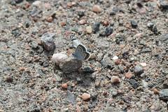 Ljung- eller hedblåvinge 'Plebejus argus/idas' (På upptäcktsfärd i naturen) Tags: blåberga juli fjäril ljungblåvinge hedblåvinge plebejus plebejusidas plebejusargus äktadagfjärilar papilionoidea juvelvingar lycaenidae polyommatinae polyommatini blåvingar