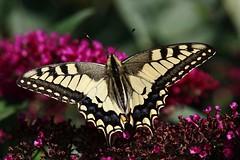 Schwalbenschwanz (Hugo von Schreck) Tags: hugovonschreck schwalbenschwanz schmetterling butterfly falter macro makro insect insekt papiliomachaon canoneos5dsr