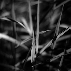 Marshland Grasses 051 (noahbw) Tags: d5000 dof nikon prairiewolfsloughforestpreserve abstract blackwhite blackandwhite blur bw depthoffield forest grass leaves light monochrome natural noahbw shadow square summer woods