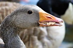 I need some Hummus with this bread (stellagrimsdale) Tags: goose yellow beak bread eating geese