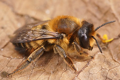 Megachile willughbiella, female (henk.wallays) Tags: