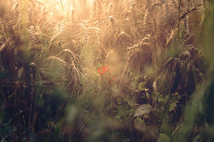 Hidden (HatCat Photography) Tags: poppy field landscape color nature sun light blurred summer beautiful bright fall season grass sony flare dawn flora panoramic outdoors growth environment desktop weinheim no person fair weather rx1rii