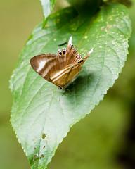20170715-5D4_0406 (shutterblades) Tags: bukittimahnaturereserve butterflies canon100400lmkii14tc canon5div dairyfarmnaturepark insect plumjudybutterfly
