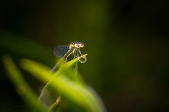 Damselfly and Dewdrop (heeeerod) Tags: damselfly dragonfly insect arthropod bug fly pond sewdrop macro nikkor 105mm nikon d750 fx micro speedlight