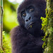 Young Grauer's Gorilla climbing and exploring in the trees.