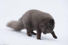 Iceland (richard.mcmanus.) Tags: iceland arctic fox arcticfox animal wildlife hornstrandir winter gettyimages explore