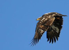 Immature Bald Eagle in flight...#15 (Guy Lichter Photography - 3.6M views Thank you) Tags: canon 5d3 canada manitoba hecla wildlife animal animals birds eagle eagles immature baldeagle