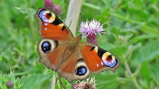 Beautiful Peacock Butterfly
