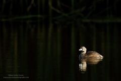 Pied-billed Grebe (www.juancarlosvindasphoto.com) Tags: piedbilledgrebe juancarlosvindas california podilymbuspodiceps morninglight birdphotography