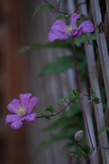 Clematis Piilu (haberlea) Tags: garden clematispiilu clematis flowers pink green wood trellis nature plant climber