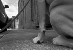 Waiting for Mary (PositiveAboutNegatives) Tags: leica leitz leicaflexsl slr 35mmelmarit leicar film analog rodinal standdeveloping mayo florida coolscan dog loyalty lab yellowlab labrador