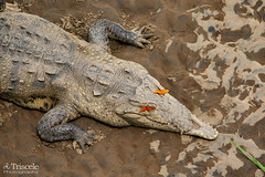 Something in my Eyes (Triscele Photography) Tags: crocodile butterflies butterfly mariposa hurt damamged reptile costa rica bridge