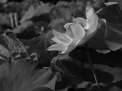 GFX06464 (Zengame) Tags: acros fujifilm fujinon gf gf63mm gf63mmf28rwr gfx gfx50s shinobazupond ueno bw flower fuji japan lotus monochrome tokyo アクロス ハス フジ フジノン 上野 不忍池 富士 富士フイルム 日本 東京 花 蓮 台東区 東京都 jp