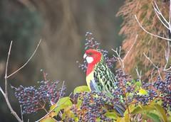 Eastern Rosella (PsJeremy) Tags: parrot rosella australian