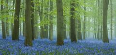 Bluebell Heaven (hammermad) Tags: bluebells forest fog mist morning
