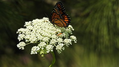 DSCN7669 (lalondepelletier) Tags: papillon butterfly nikon coolpix p900 insecte insect nature faune
