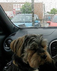 Flo Yorkie Poo Dog in car at Tesco Oakham Rutland (@oakhamuk) Tags: flo yorkiepoo dogin car tesco oakham rutland