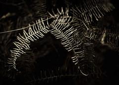 Happy Sunday! (<be>) Tags: fishbone fern centennialpark leaves