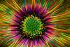 Wild and Wacky Daisy HSS (Dotsy McCurly) Tags: nature beautiful flower yellow purple blue orange bright colors africandaisy photoshop topaz art manipulation fun hss happysliderssunday canoneos80d 35mm macro newjersey