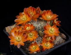 Aylostera christiniae (clement_peiffer) Tags: d7100 105mm cactaceae succulent peiffer clement nikon cactus fleurs flower spines epines kaktusi кактуси orange rebutia christiniae flowerscolors
