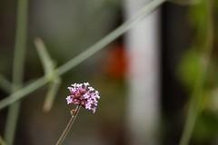 delft tuin verbena