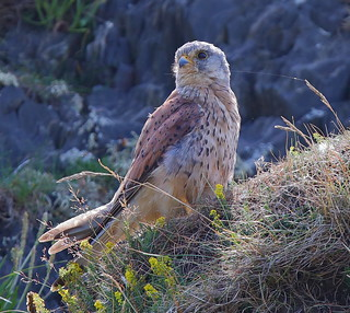 KESTREL....Found this little beauty sat near the top of a cliff at Ciebwr....South West Wales.