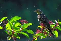 Carouge à epaulettes, femelle / en contre-jour (Robert Dupont) Tags: robertdupont lightzone canonpowershotsx50 carougeàepaulettes redwingedblackbird angelaiusphoeniceus parcangrignonmontréalqc contrejour