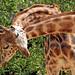 giraffe amersfoort BB2A4939