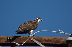 Day 205 ~ first fledge (champbass2) Tags: day205 day2052017 osprey fledgling firstfledge wildlife nature birding newbie